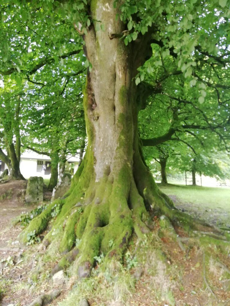 Devon Beech Tree